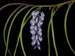 Read more: Schoenorchis juncifolia
