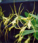 Read more: Brassia Rex