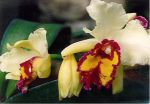 Read more: Cattleya  Delftse Schat