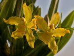 Read more: Odontocidium Geyserland
