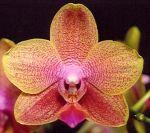 Read more: Phalaenopsis Bubbles